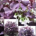 Purple Irish Shamrock