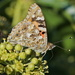PAINTED LADY  by markp