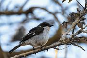 6th Oct 2015 - 2015 10 06 - fiscal flycatcher