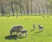 7th Oct 2015 - Did Mary have four little lambs?