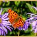 Comma Butterfly by carolmw