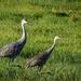 Sandhill Crane Pair Taking a Stroll