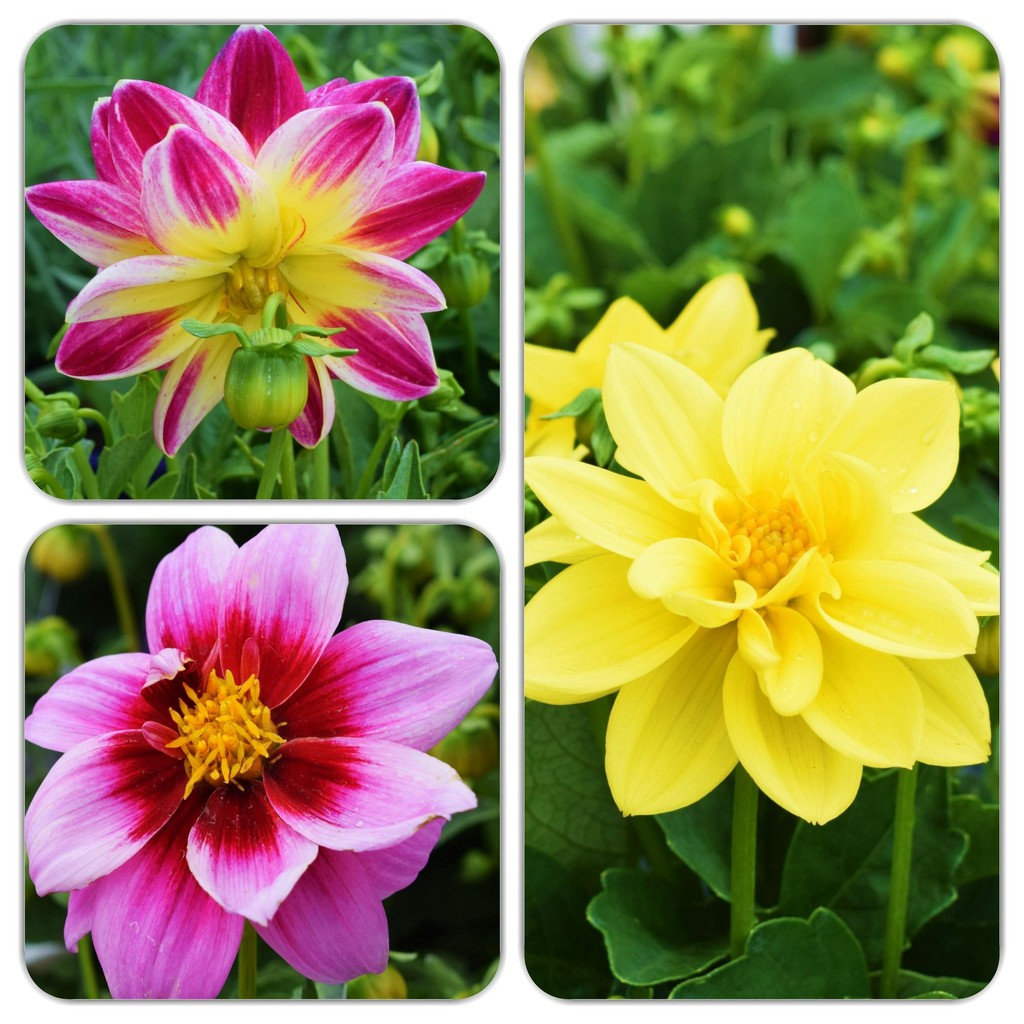 Beautiful Dahlias.   by happysnaps