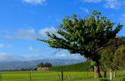 8th Oct 2015 - The Oak tree is still alive