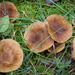 A little patch of round toadstools