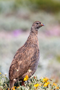 8th Oct 2015 - 2015 10 08 - Natal Spurfowl