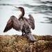 Soggy Cormorant by swillinbillyflynn