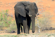 9th Oct 2015 - 2015 10 09 - Chobe Resident