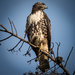 Red Tailed Hawk by mikegifford