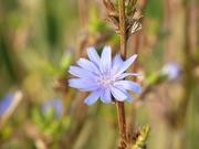 6th Oct 2015 - Pretty Blue Flower