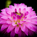 Ordinary dahlia by stiggle
