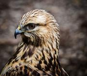 9th Oct 2015 - Red Hawk