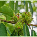 Fruits Of The Sweet Chestnut