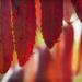 Sumac, On Fire by lyndemc