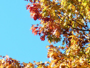 9th Oct 2015 - Autumn leaves....