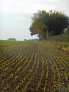 11th Oct 2015 - Next years crop of wheat.
