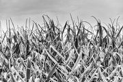 11th Oct 2015 - Mono Maize