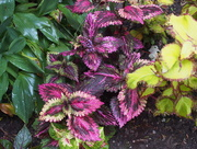 9th Oct 2015 - Colourful Coleus