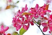 24th Apr 2015 - Crab Apple Blossoms