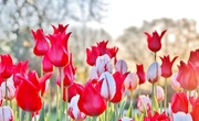 30th Apr 2015 - Tulips
