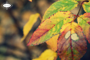 11th Oct 2015 - Leaf of many colors