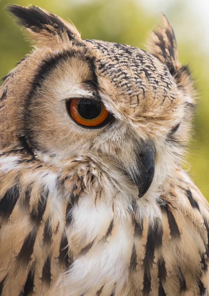 Bengal Eagle Owl  by shepherdmanswife