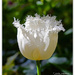 White Tulip.. by julzmaioro