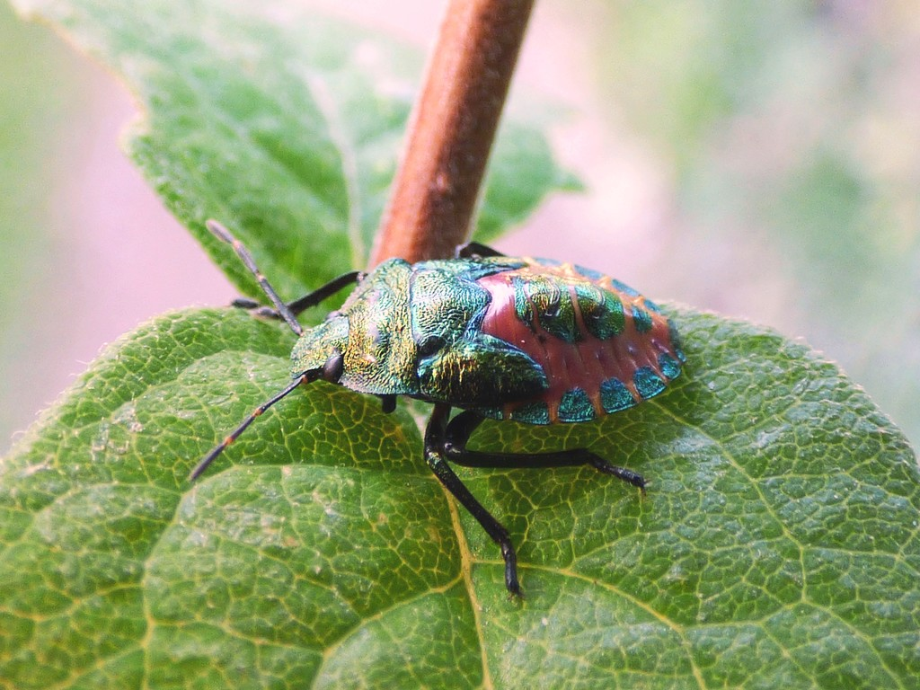 Bronze Shieldbug nymph (Troilus luridus) by julienne1