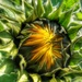 Sunflower. by cocobella