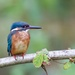 Kingfisher(Mature Female) by padlock