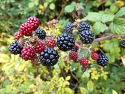 15th Oct 2015 - Blackberry picking.....