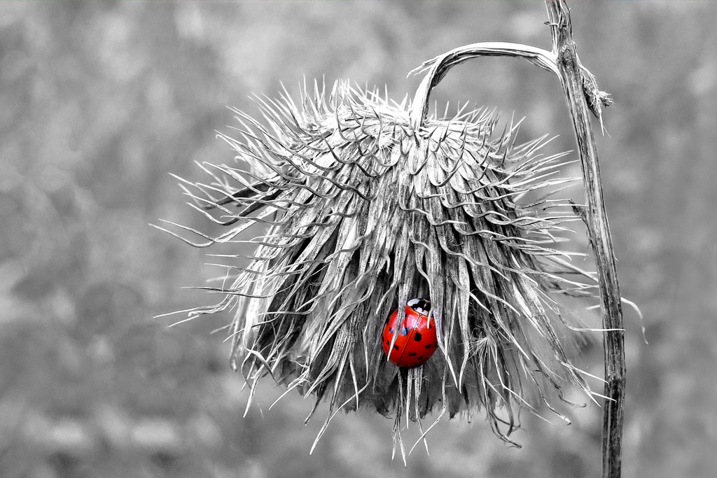 Dead thistle and the RED LADYBUG! by fayefaye