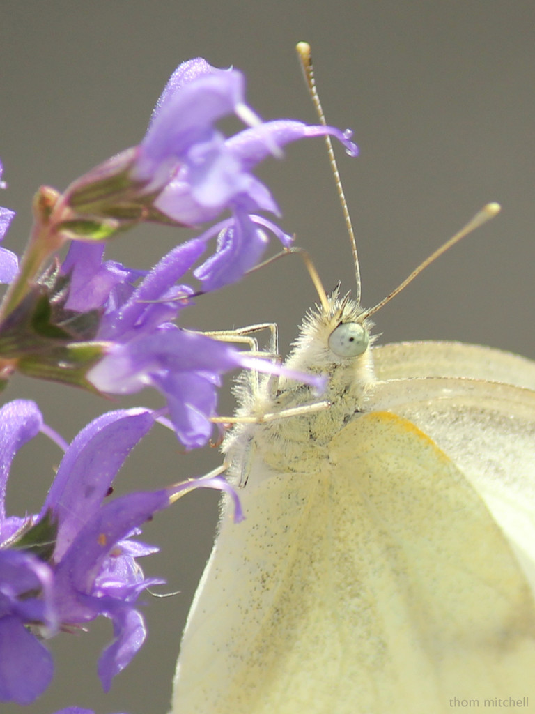 Up close and personal with a Cabbage White by rhoing