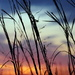 Tall Grass at Sunset by genealogygenie