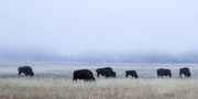 15th Oct 2015 - Foggy Bison Morning