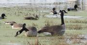 16th Oct 2015 - geese feeding on moss