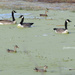 geese, ducks and moss
