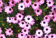 12th Oct 2015 - Daily daisies