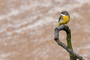 14th Oct 2015 - 2015 10 14 - Grey Wagtail