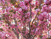 15th Oct 2015 - Pink profusion
