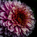 Chrysanthemum by tonygig