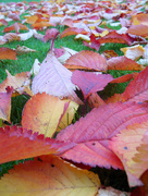 16th Oct 2015 - Autumn leaves.....