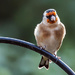 16th October 2015     - Goldfinch by pamknowler