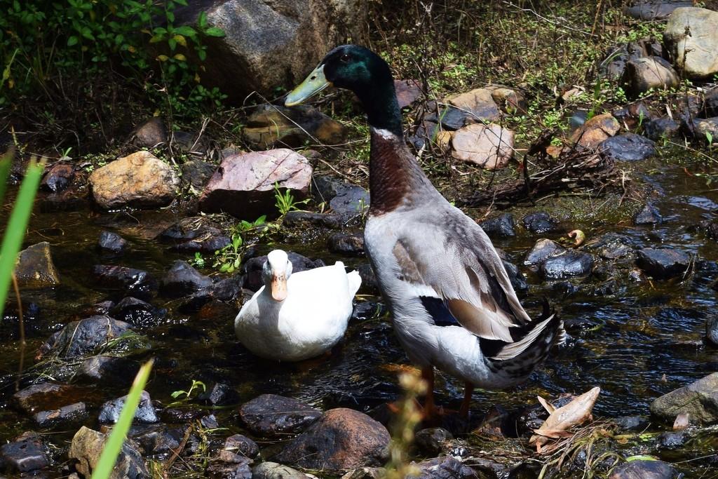 Rouen Duck & friend! by happysnaps