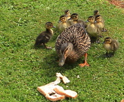 18th Oct 2015 - First ducklings