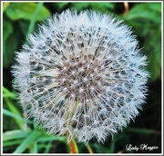 18th Oct 2015 - A very late  Dandelion.