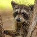 Baby Raccoon by danette