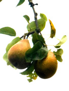 18th Oct 2015 - A pair of pears.....