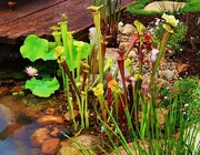 19th Oct 2015 - Unusual Water Side Plants!