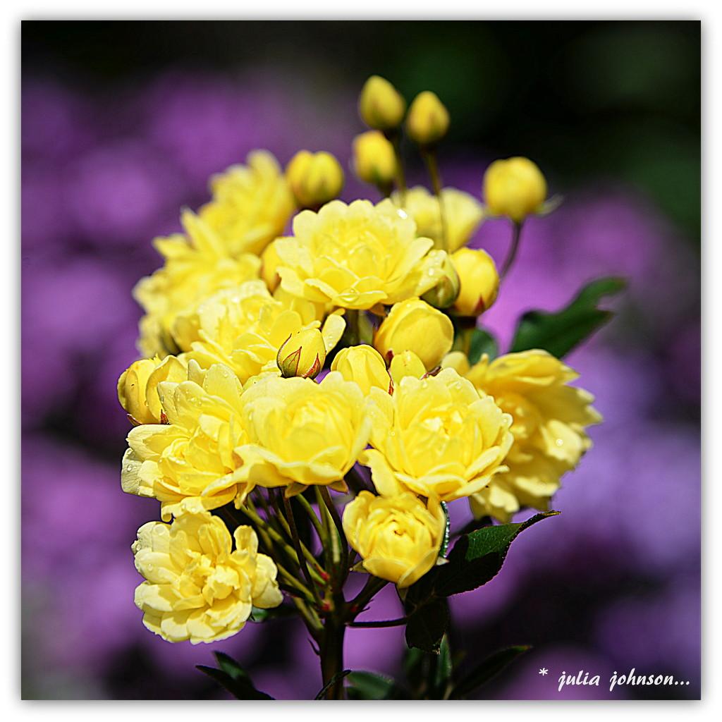 Banksia Rose.. by julzmaioro